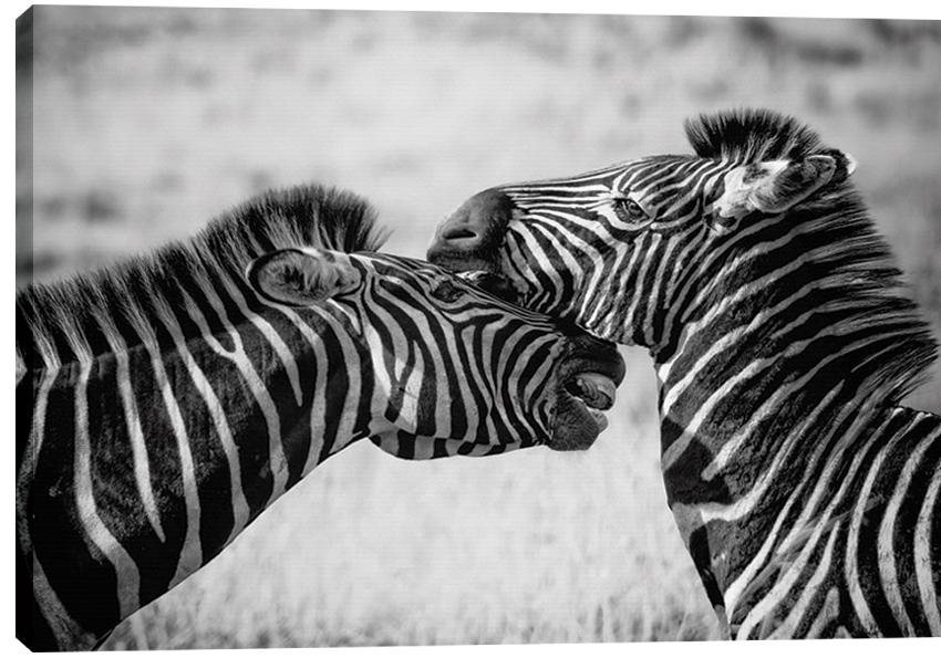Obraz na plátně - Zebra 100 x 70 cm - 1699 Kč