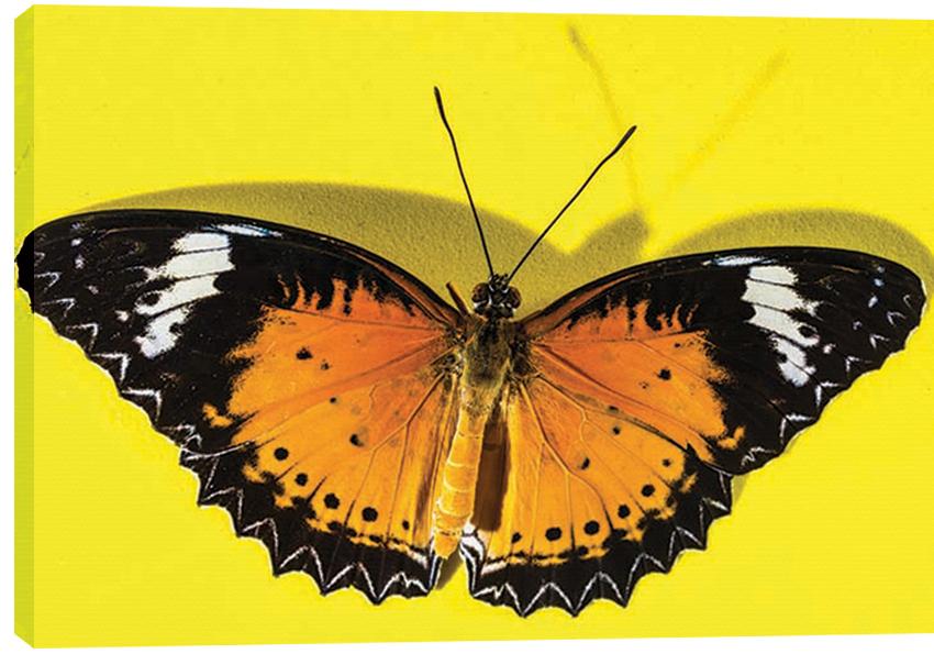 Obraz na plátně butterfly 100 x 70 cm - 1699 Kč